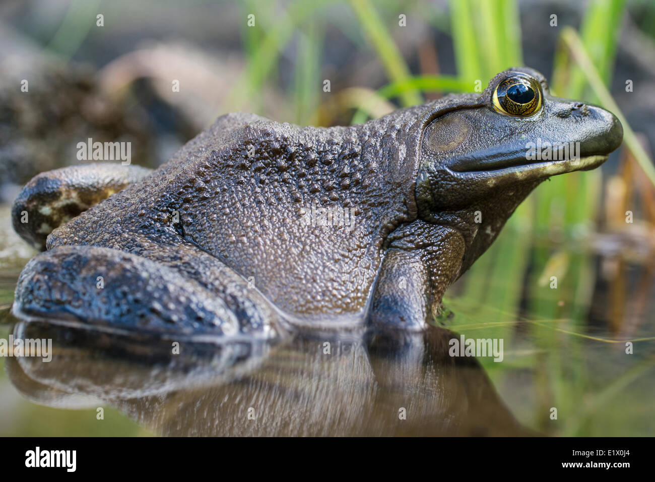 The green frog, Lithobates clamitans, is a species of frog native to the eastern half of the United States and Canada Stock Photo