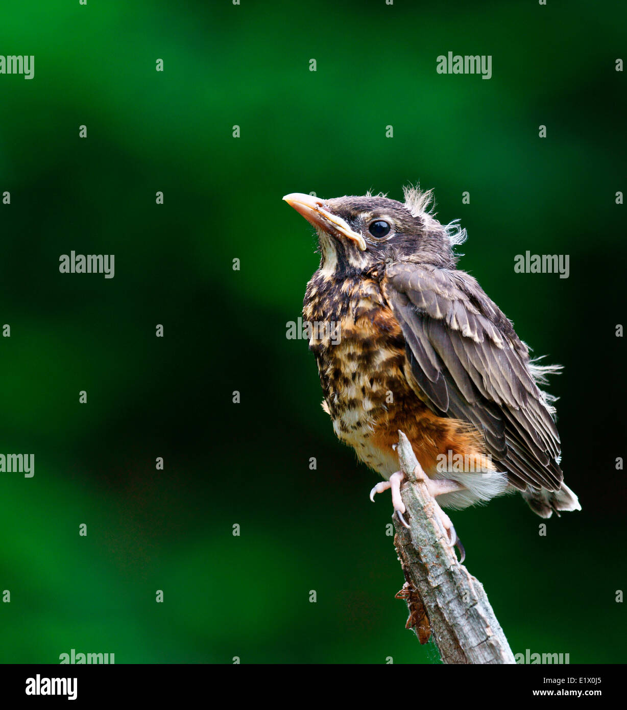 Fledgling American robin (Turdus migratorius) also known as the robin is a migratory songbird the thrush family perched on Stock Photo