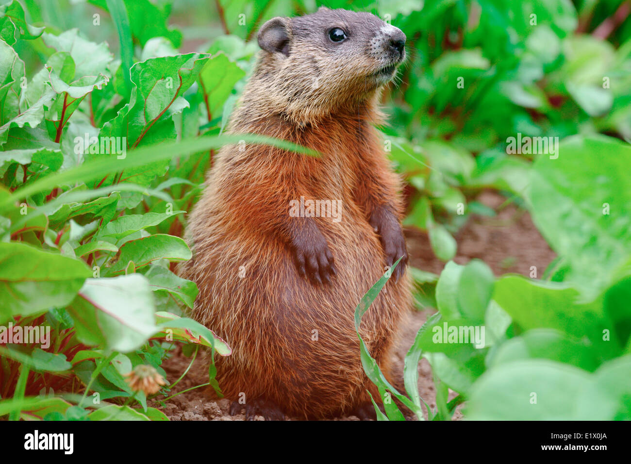 Baby groundhog (Marmota monax) also known as a woodchuck whistle-pig or land-beaver in some areas belonging to the group large Stock Photo
