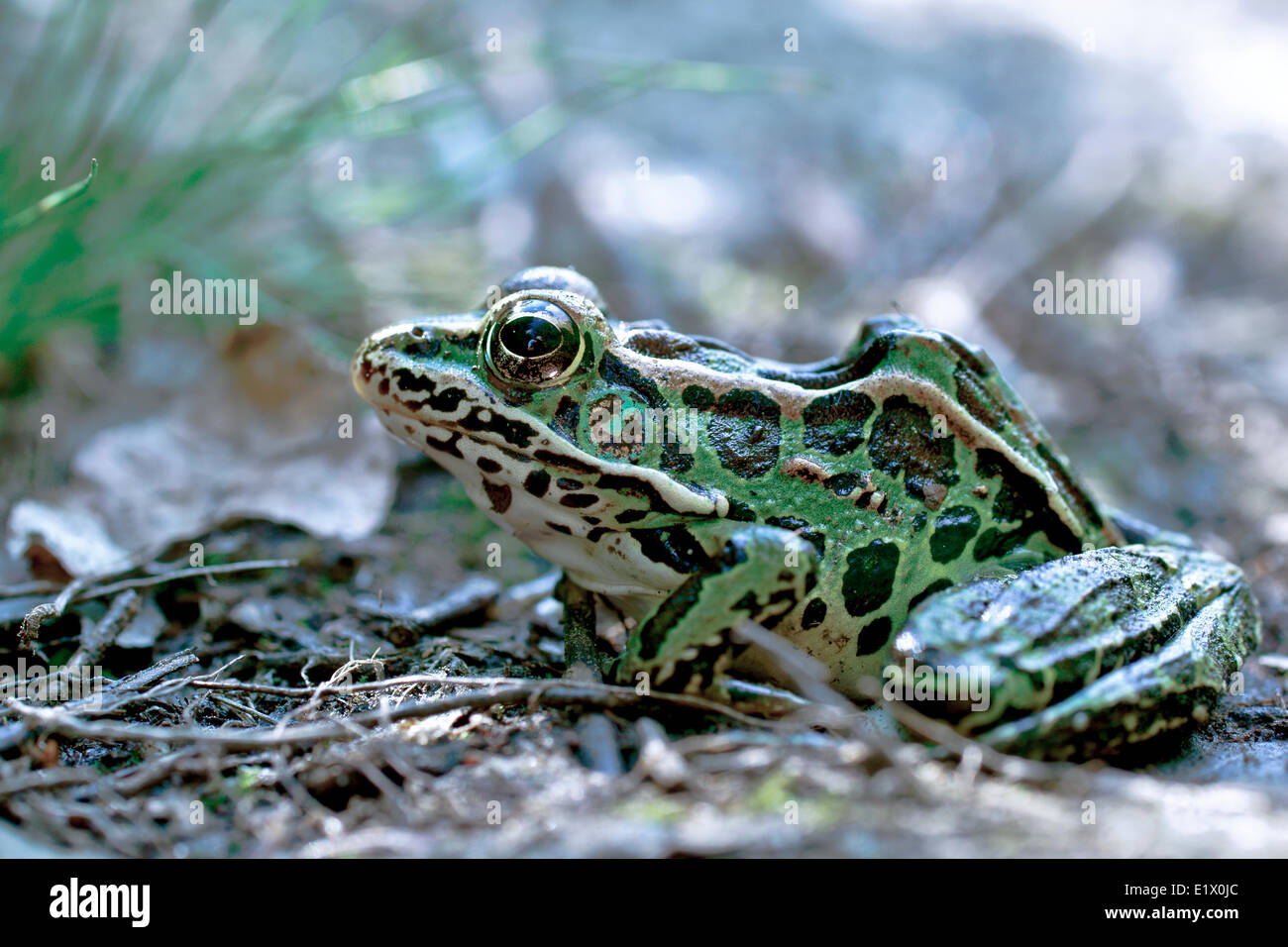 Northern leopard frog (Lithobates pipiens formerly known as Rana pipiens is a species leopard frog the true frog family native Stock Photo