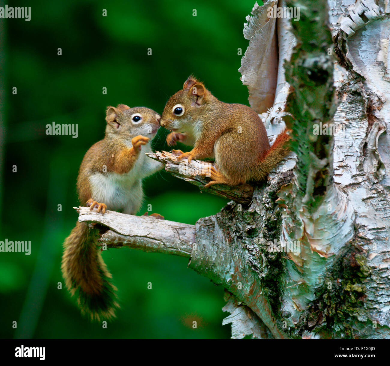 Young American red squirrel (Tamiasciurus hudsonicus) is one three species tree squirrel currently classified in the genus Stock Photo