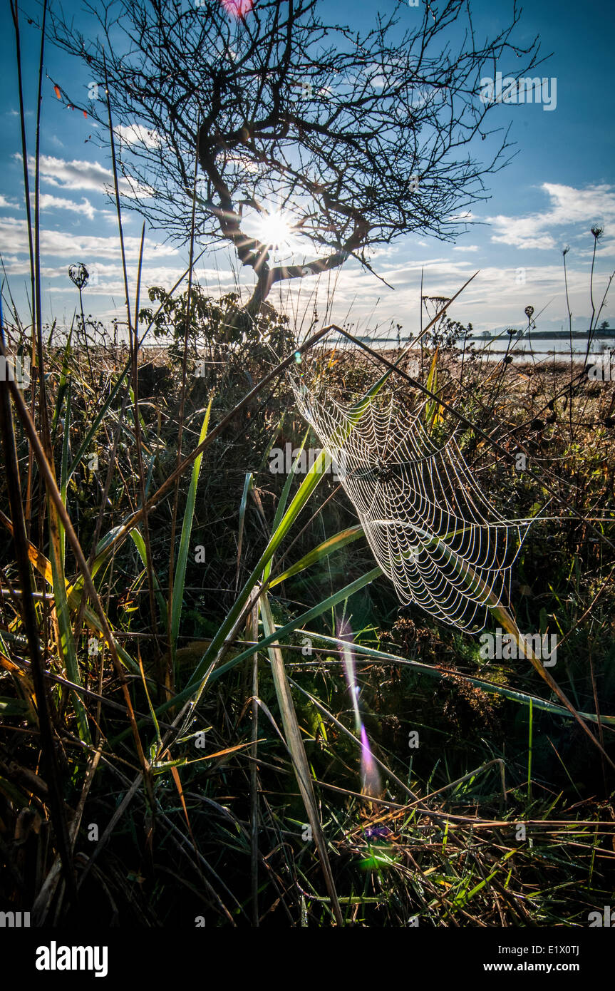 A dewy spiderweb is back-lit in the tall grass on an Autumn morning. Croteau Beach, Comox BC, Canada - Stock Image
