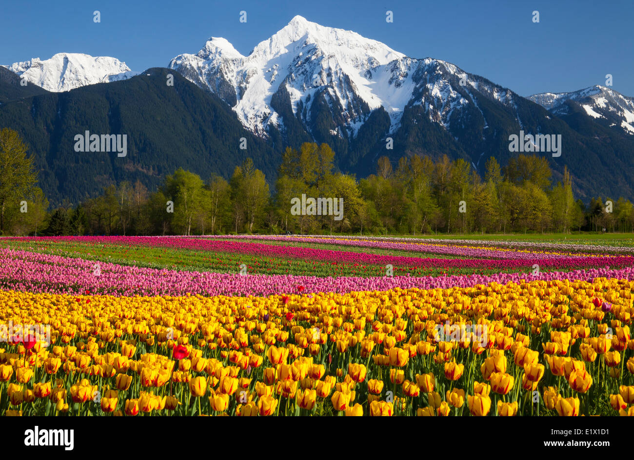 Tulip fields in bloom, Fraser Valley, BC, Mt Cheam behind Stock Photo