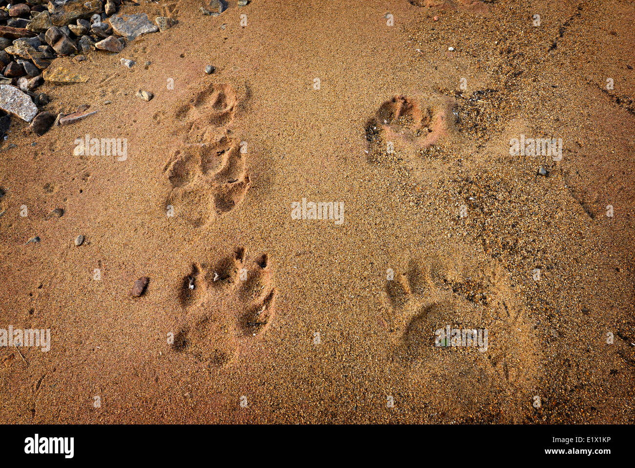 Animal foot prints in the sand - Stock Image