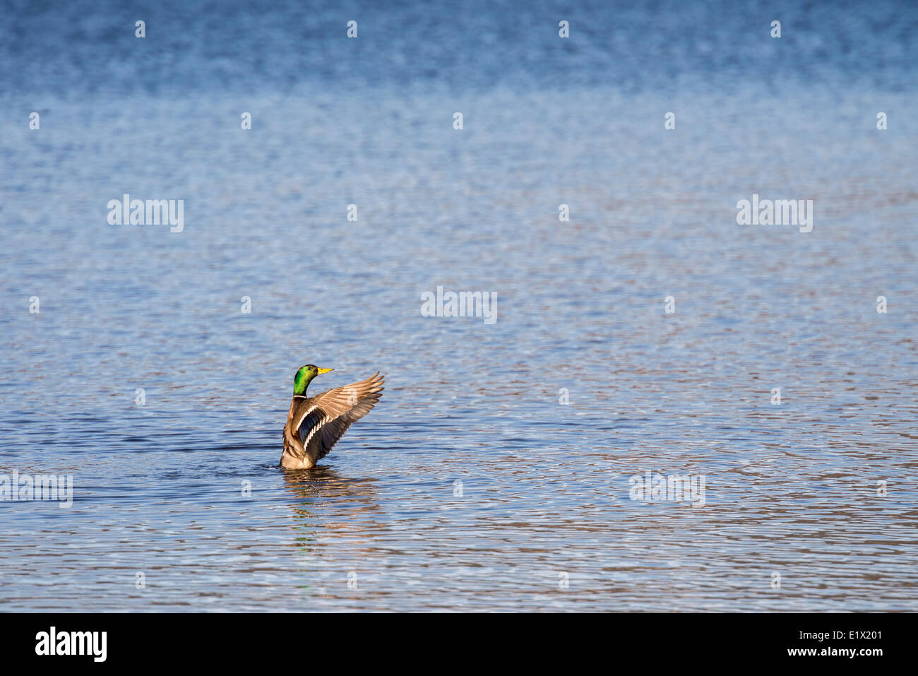 Mallard duck, Anas platyrhynchos, flapping it's wings on Okangan Lake in Penticton, British Columbia, Canada - Stock Image
