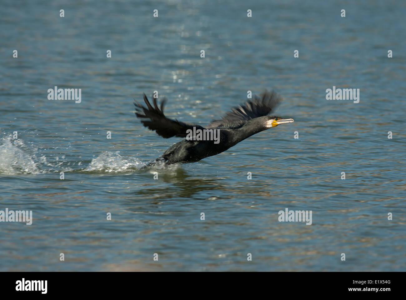 Cormorant in flight on the water, Phalacrocorax carbo, Castiglione della Pescaia, Tuscany, Italy - Stock Image