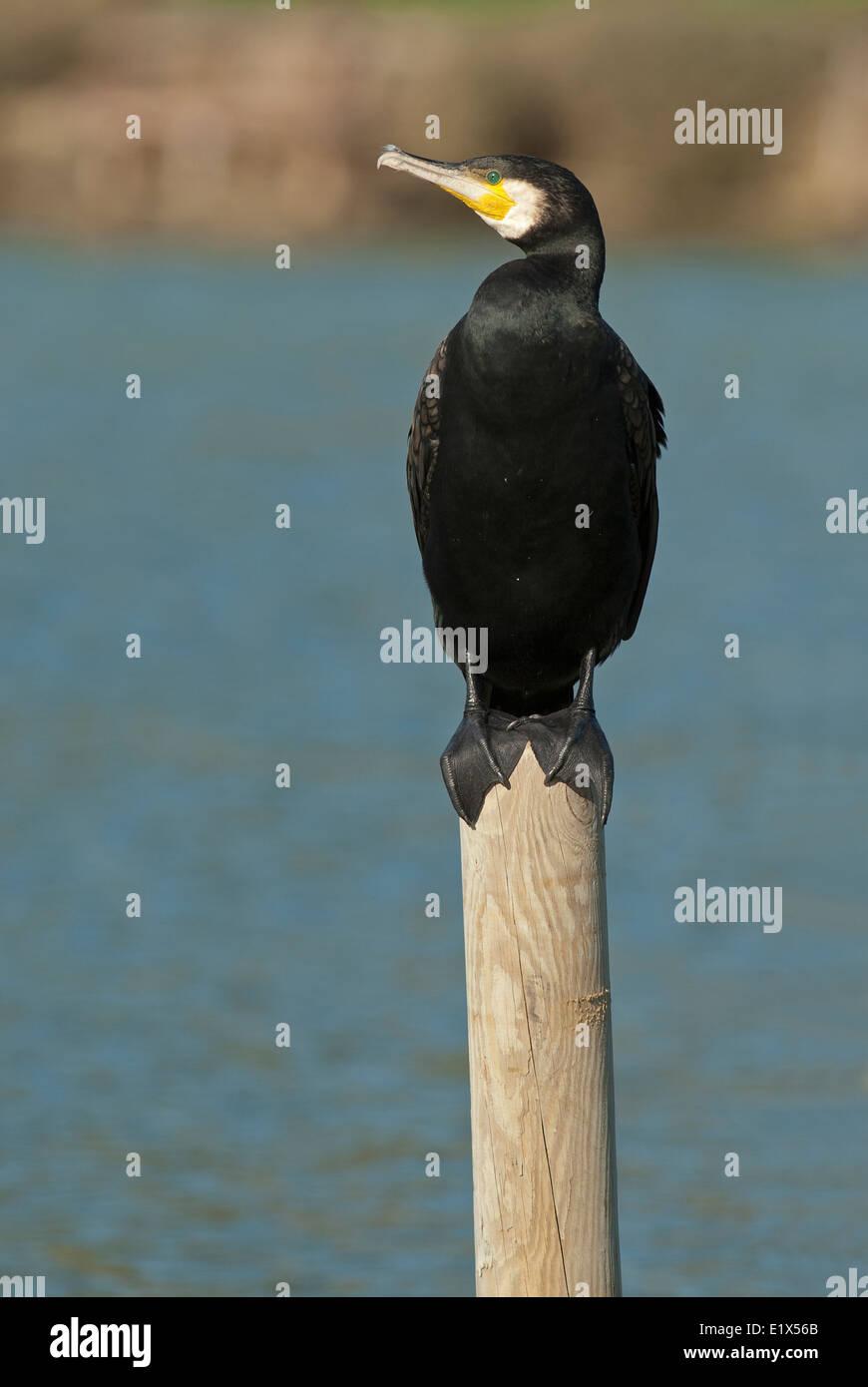 Cormorant, Phalacrocorax carbo, Castiglione della Pescaia, Tuscany, Italy - Stock Image