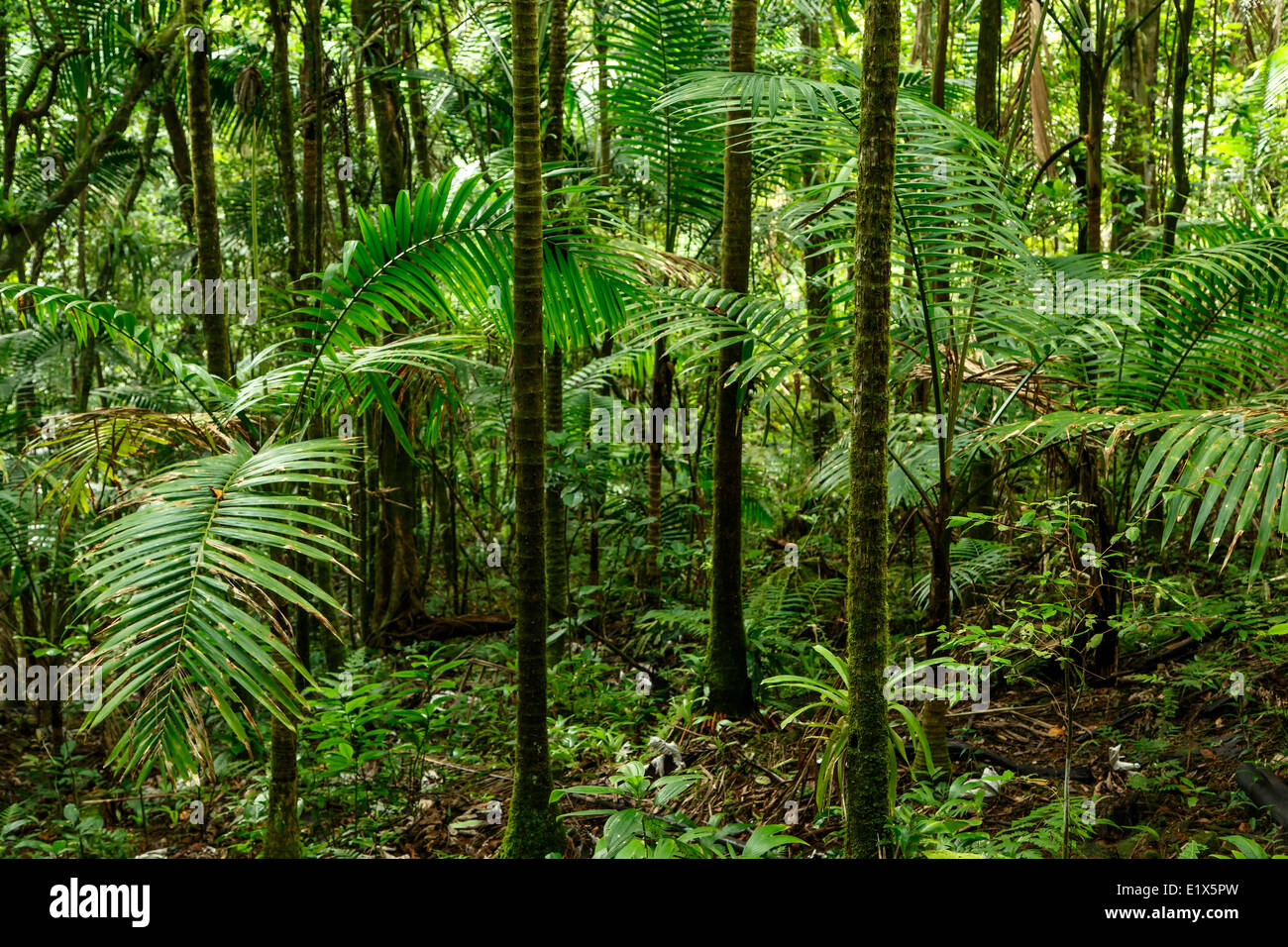 Forest scene, Caribbean National Forest (El Yunque rain forest), Puerto Rico - Stock Image