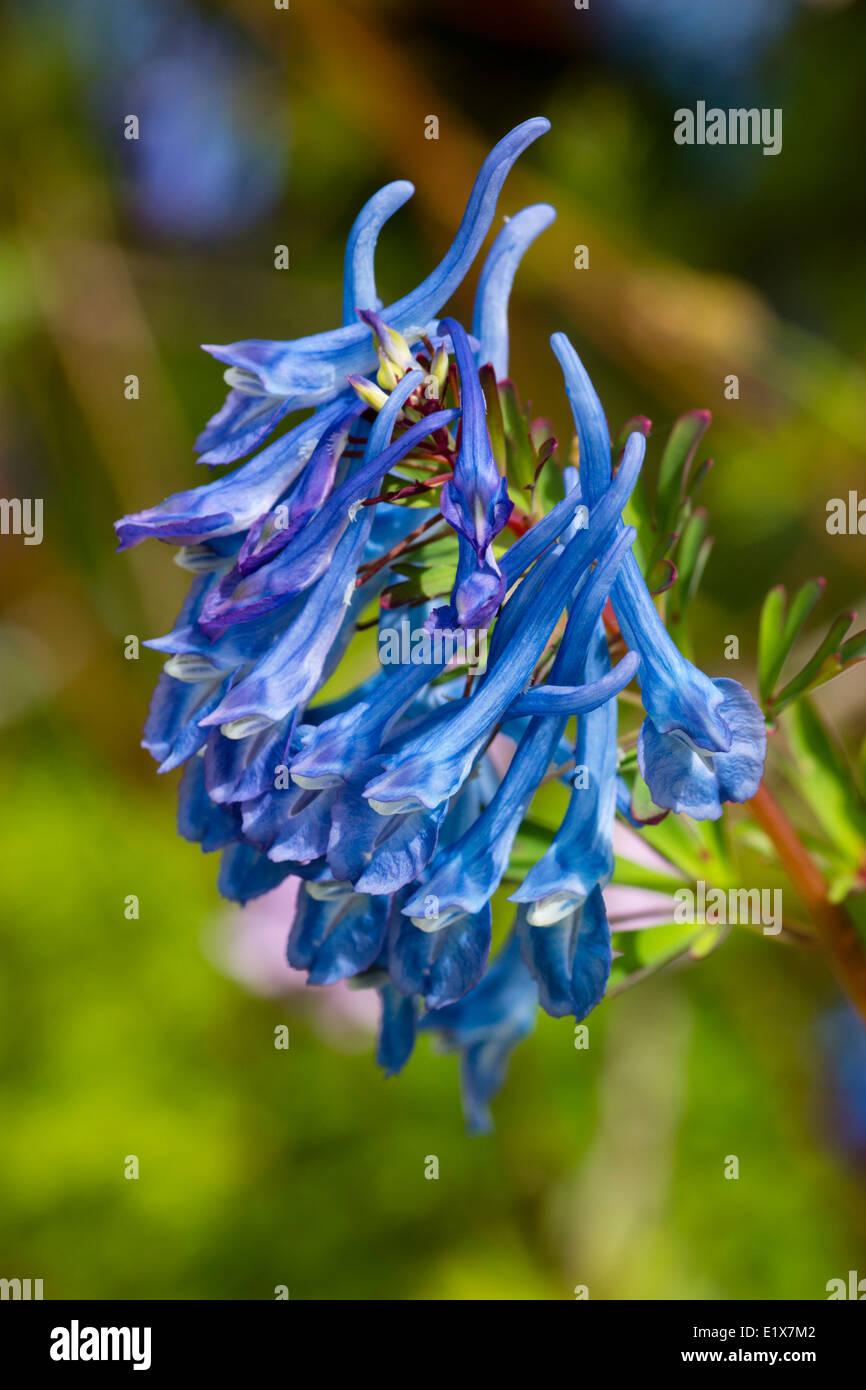 Bright blue flowers of the Corydalis elata x flexuosa cross, 'Tory MP' - Stock Image