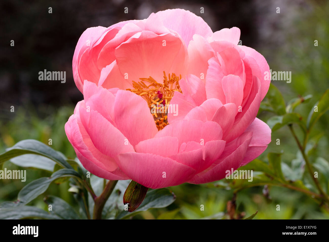 Single flower of the peony, Paeonia 'Coral Charm' - Stock Image