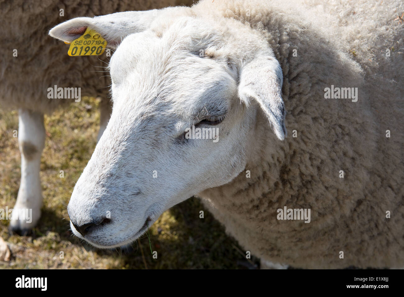Head of a swedish sheep with ear tag - Stock Image