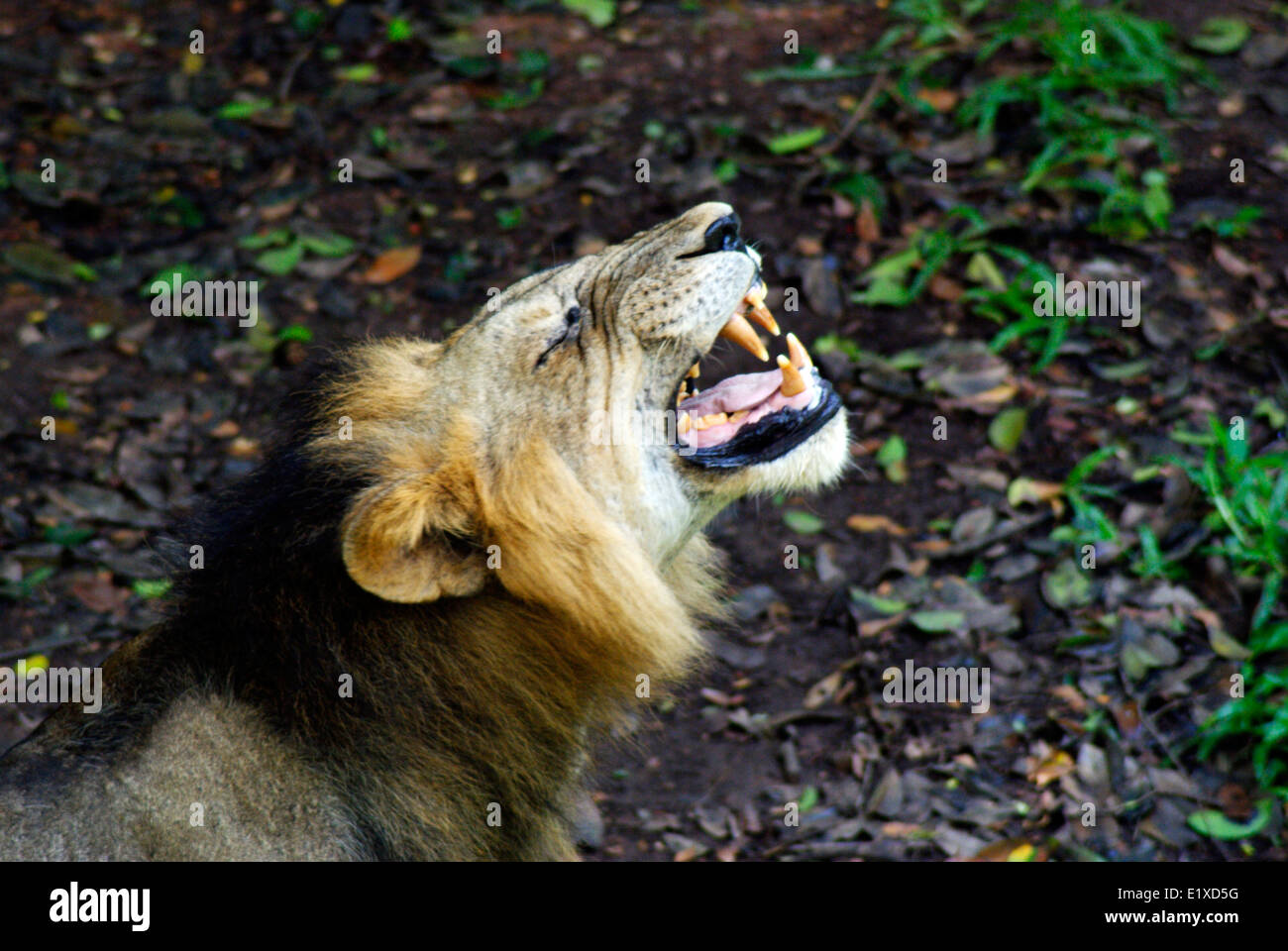 Lion roaring loudly roaring lion face and dangerous teeth Indian Asiatic lion India - Stock Image