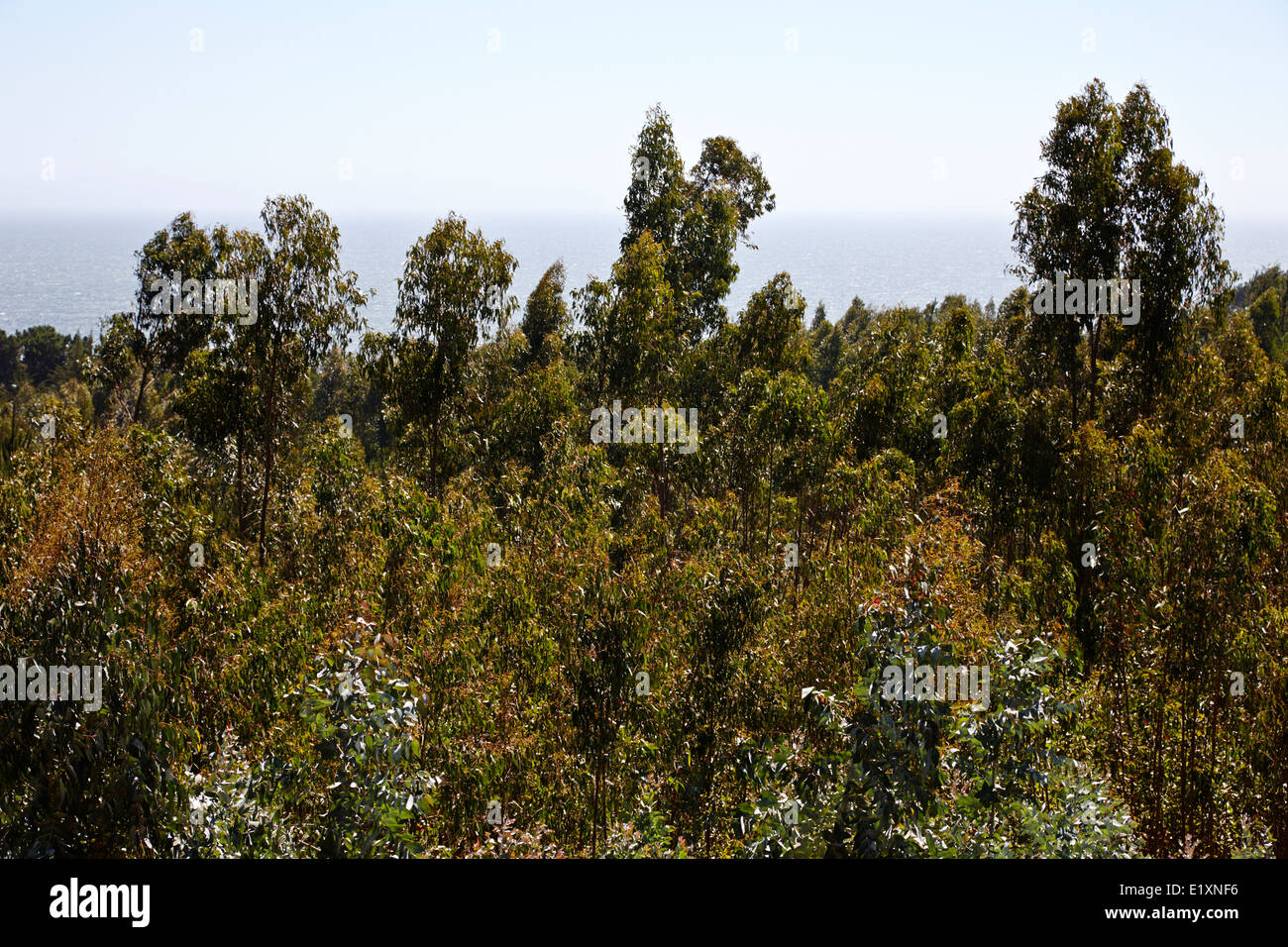 eucalyptus forest los pellines chile - Stock Image