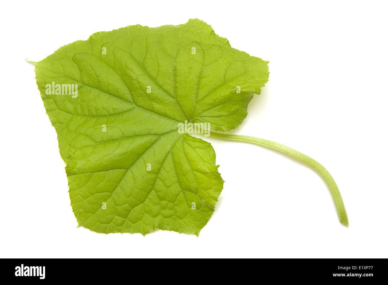 Cucumber sheet - Stock Image