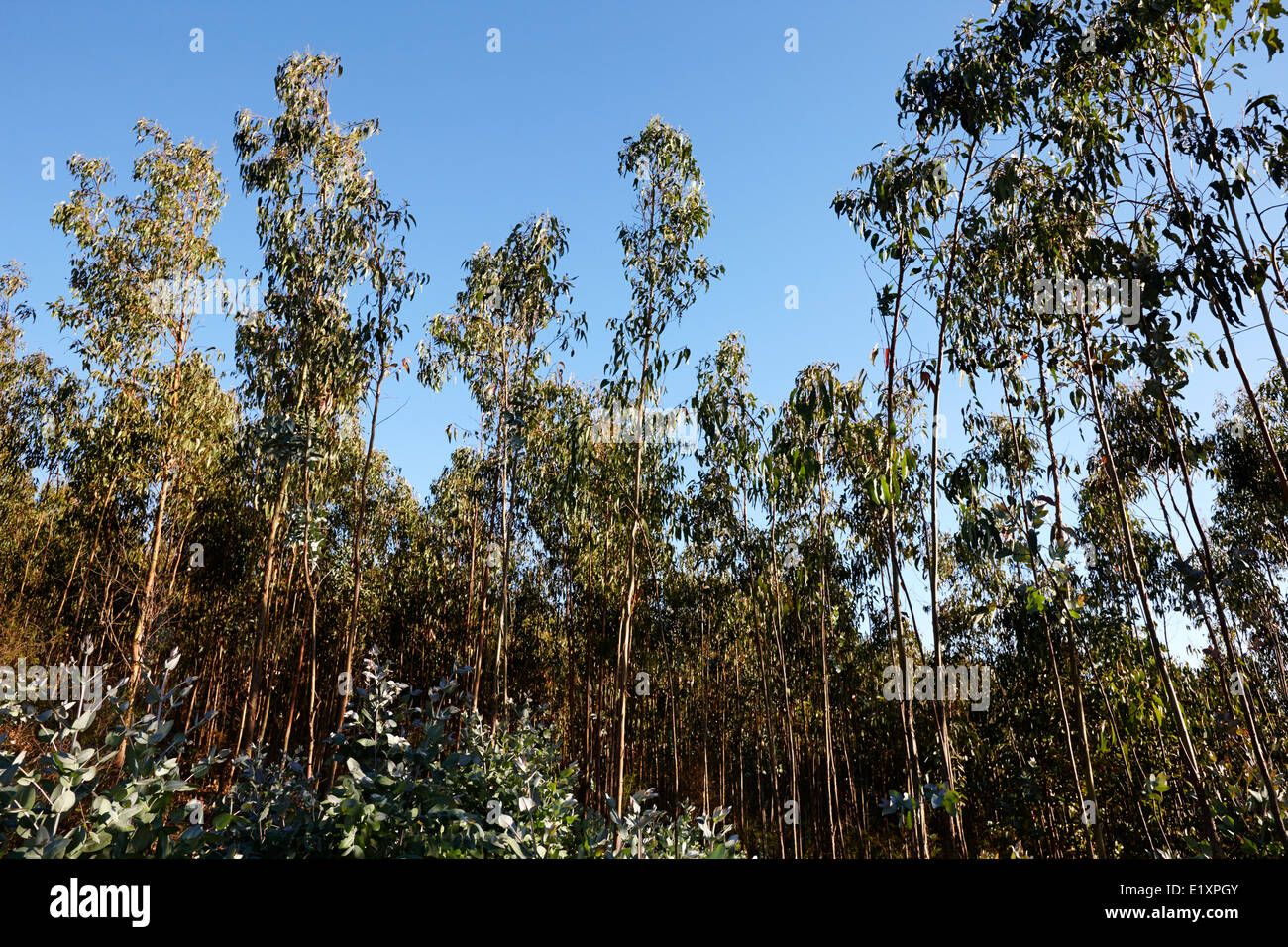 eucalyptus forest los pellines chile Stock Photo