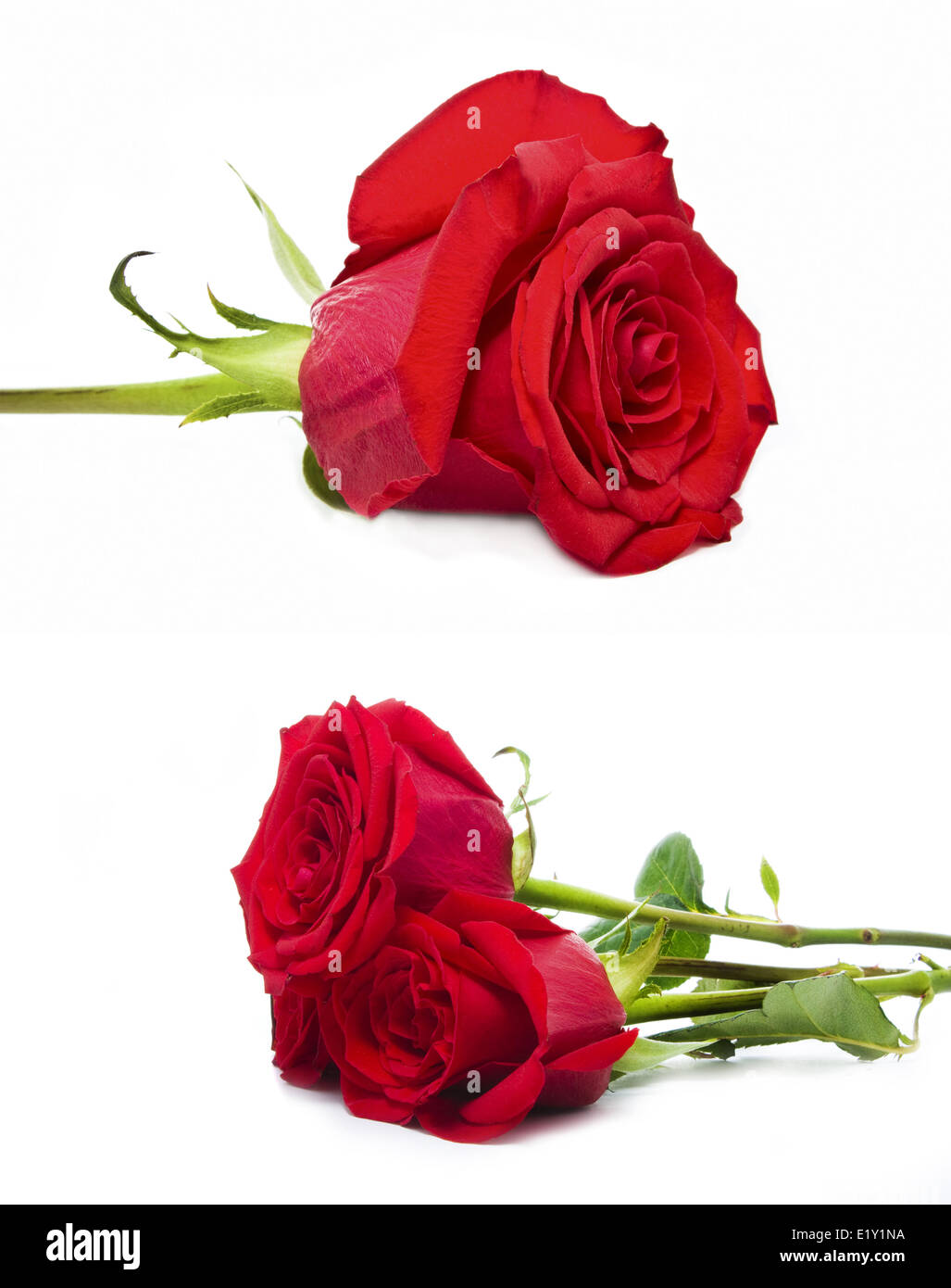 roses isolated Stock Photo