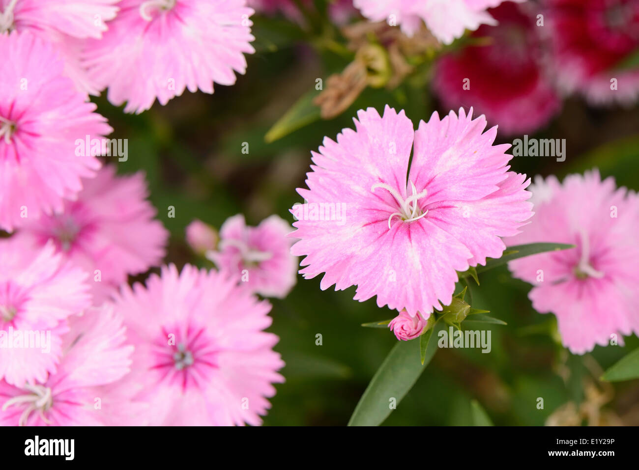 closeup of pink Dianthus barbatus flowers in a garden - Stock Image