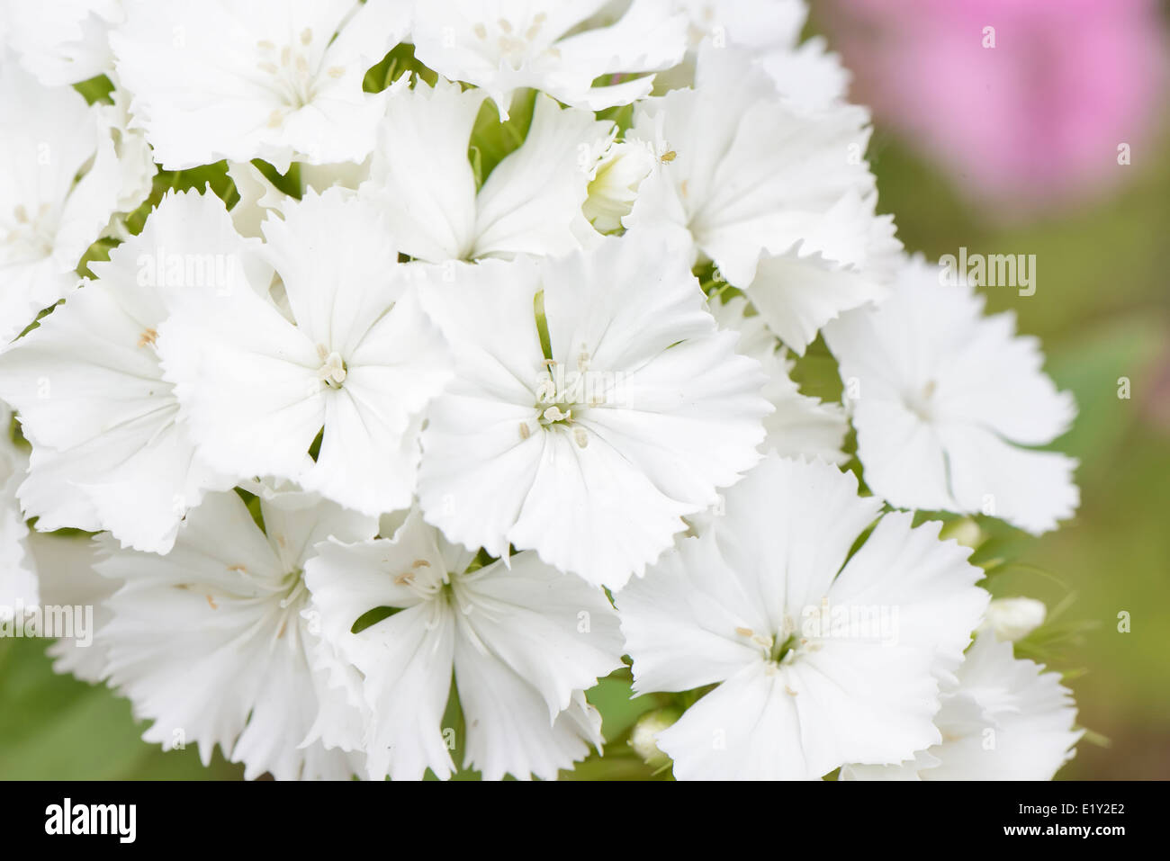 closeup of white Dianthus barbatus flowers in a garden - Stock Image
