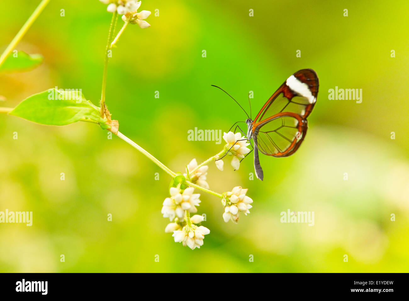 Glasswinged butterfly (Greta oto) - Stock Image