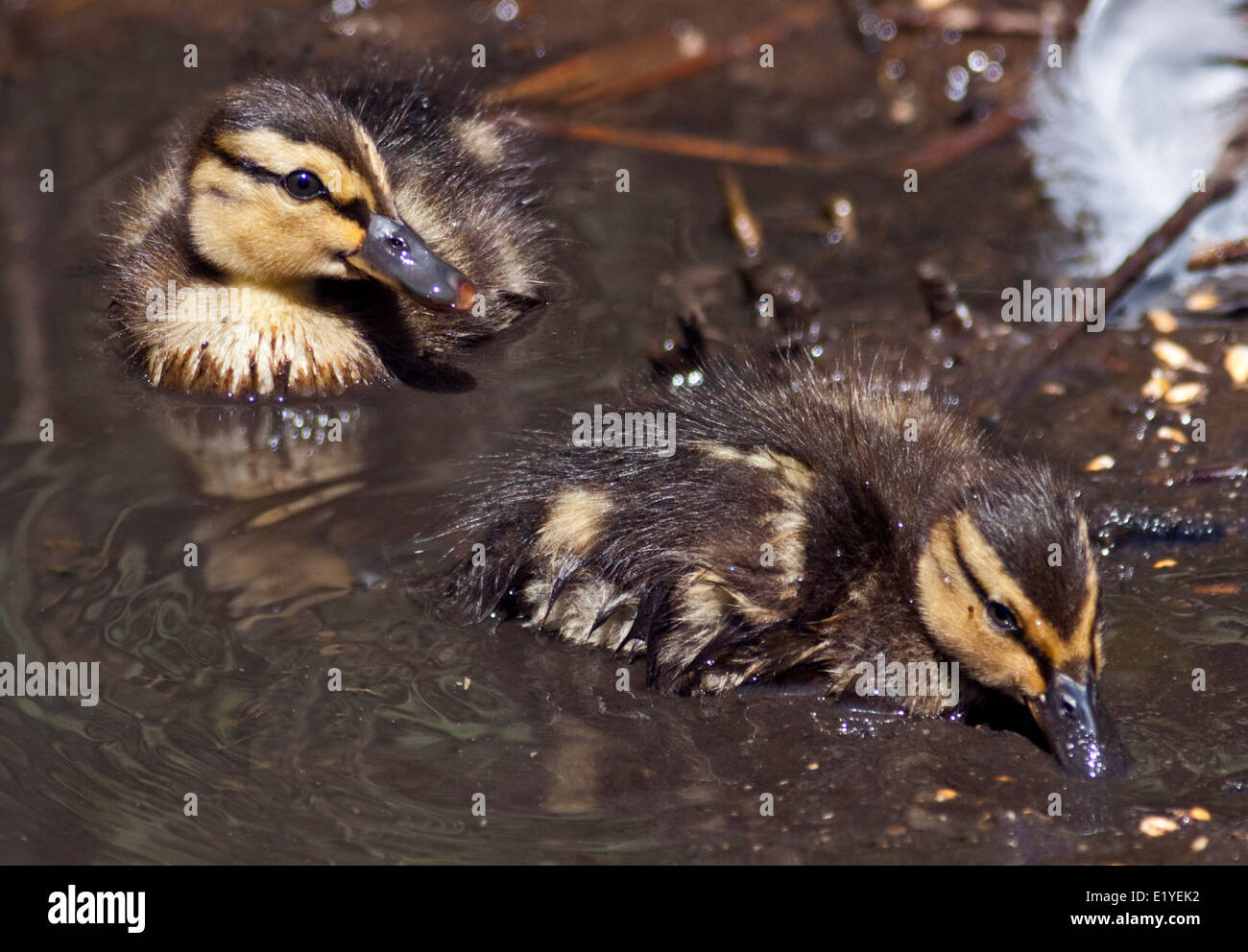 Two Mallard Ducklings (anas platyrhynchos) swimming - Stock Image