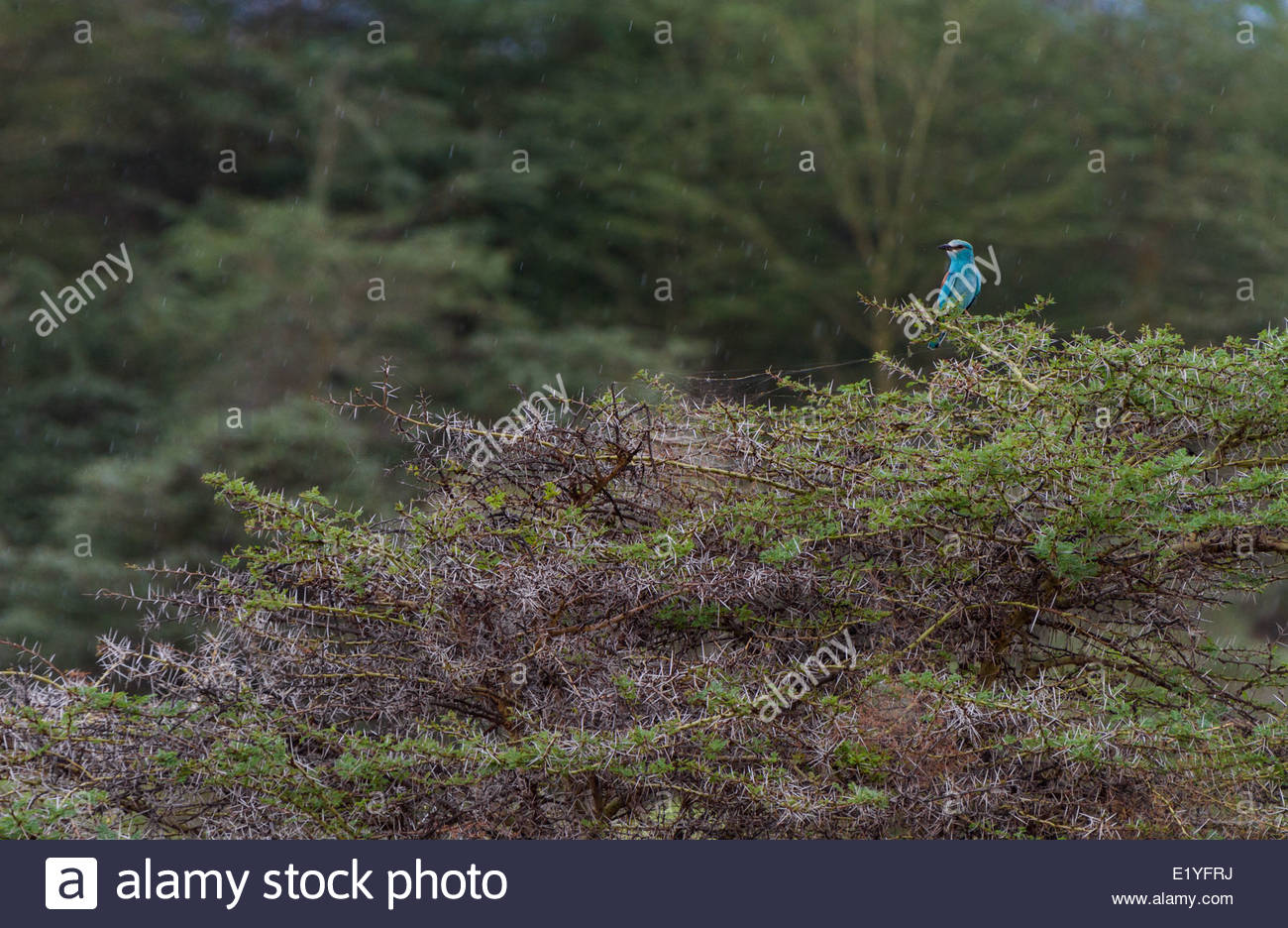 Bird perching on thorny bush - East Africa - Tanzania - Lake Manyara National Park - Stock Image