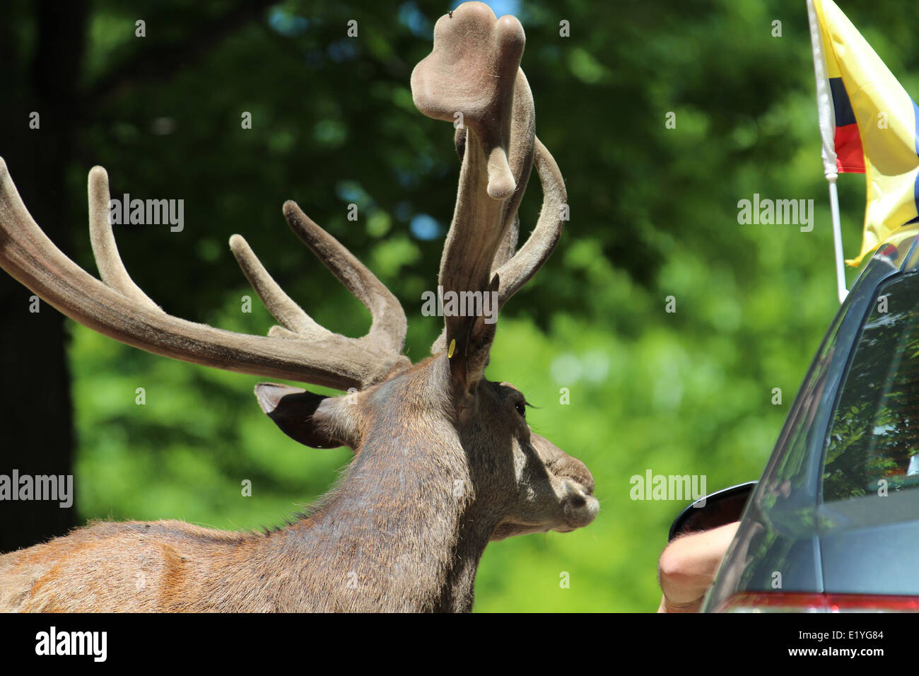 Male deer and vehicle Stock Photo