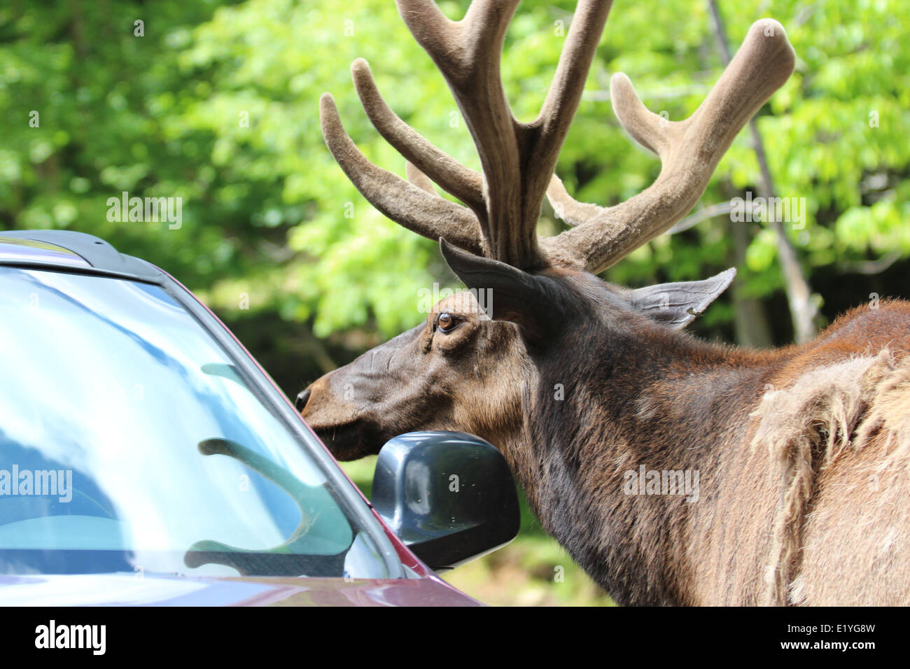 Deer with horns eating from the car window Stock Photo