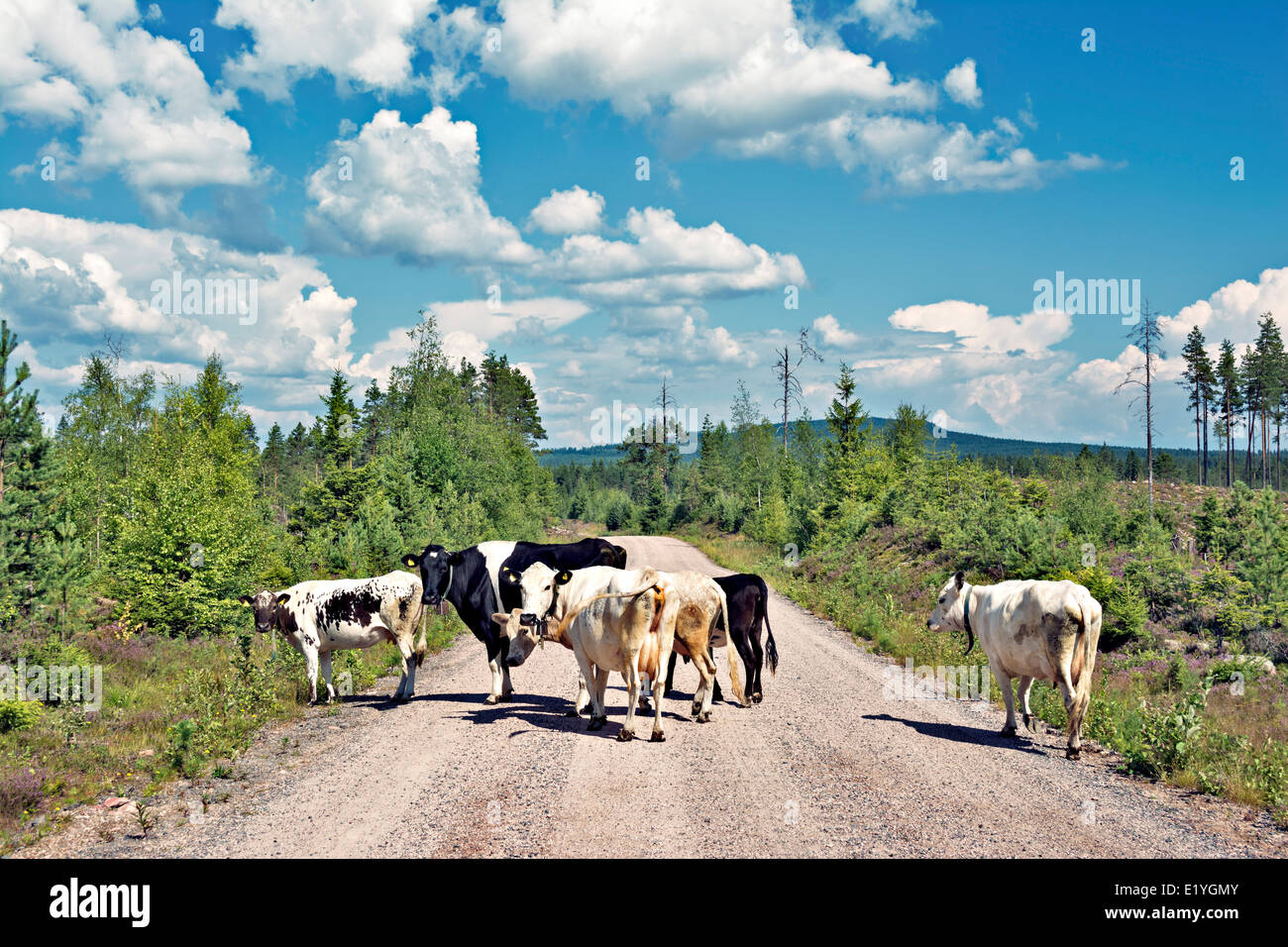 Swedish Mountain cattle on a road up in Dalarna. - Stock Image