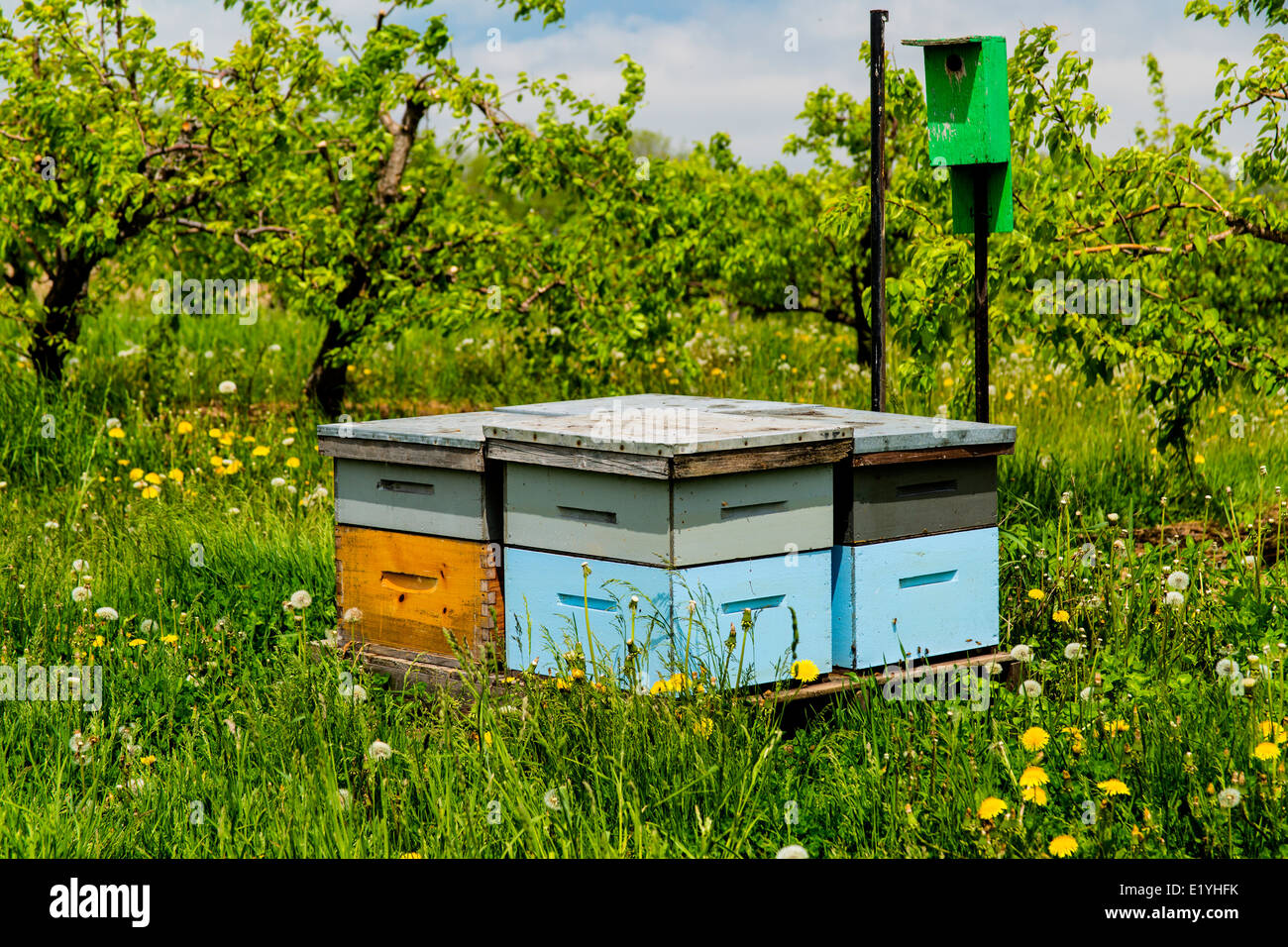 Beehives in apple orchard Ontario Canada - Stock Image