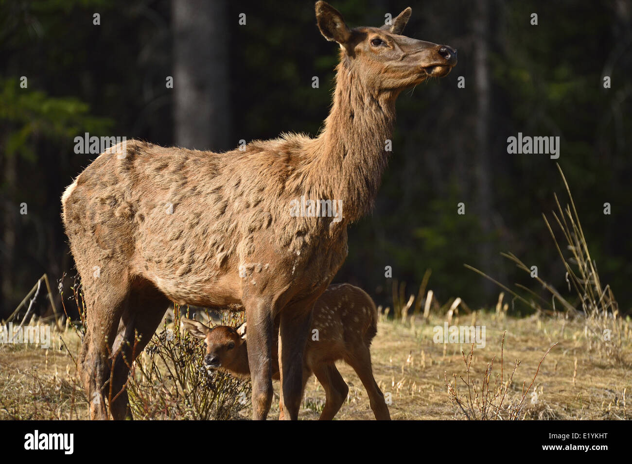 A mother elk with a new baby standing in an open area - Stock Image