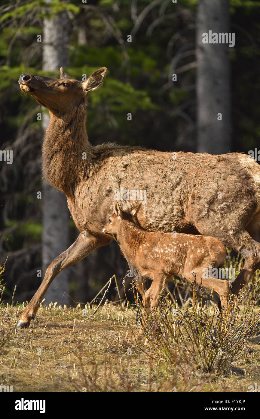 A mother elk with a new baby moving quickly toward the safety of the dense forest - Stock Image