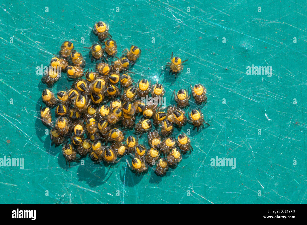 A nest of spiderlings on a green background (1 of 2) - Stock Image
