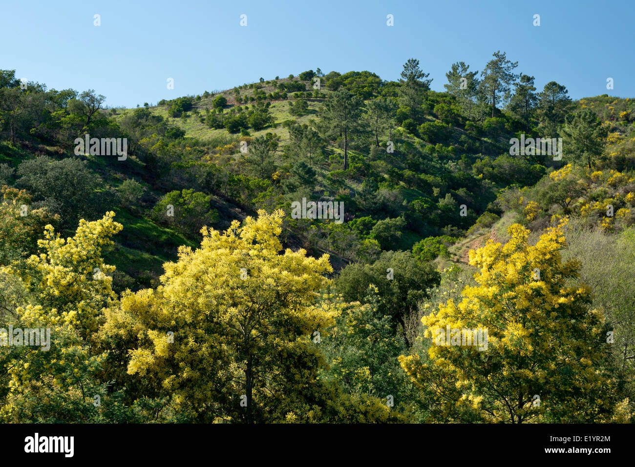 acacia mimosa trees in flower, Monchique, Algarve, Portugal - Stock Image