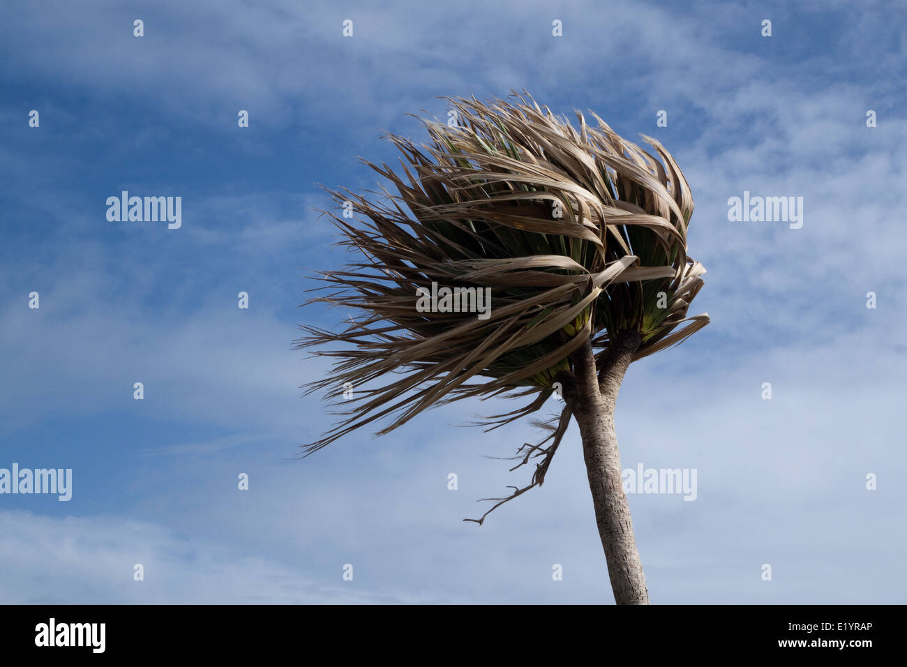 Palm Tree on a Very Windy Day - Isles of Scilly -1 - Stock Image