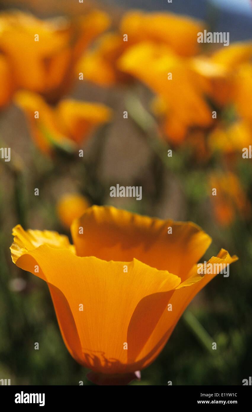 Elk248-3092v California, Antelope Valley California Poppy Preserve, California poppies - Stock Image