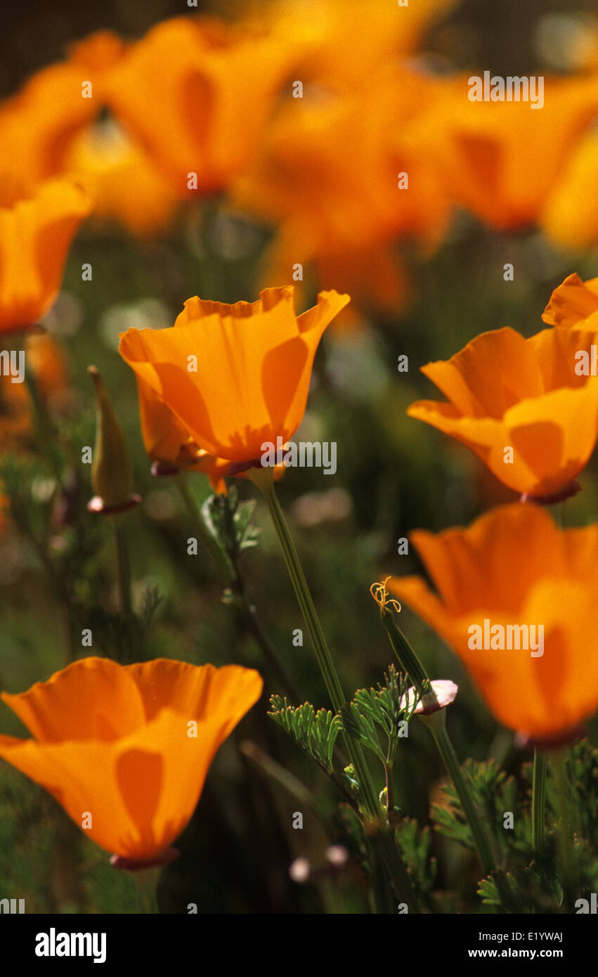 Elk248-3090v California, Antelope Valley California Poppy Preserve, California poppies - Stock Image