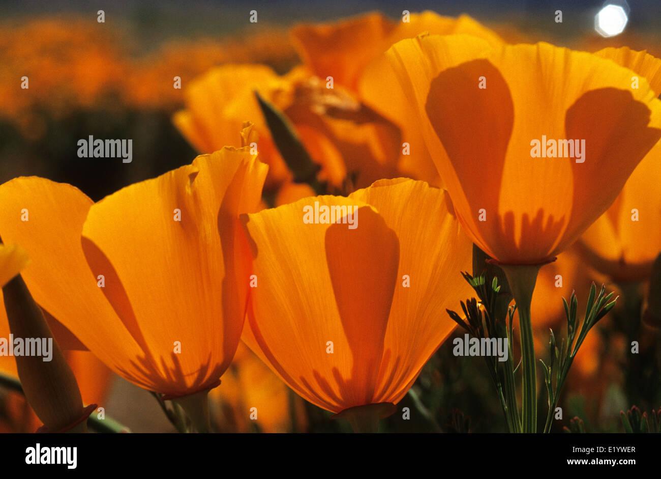 Elk248-3098 California, Antelope Valley California Poppy Preserve, California poppies - Stock Image