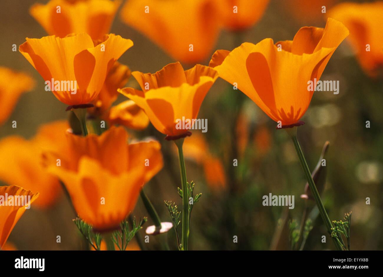 Elk248-3095 California, Antelope Valley California Poppy Preserve, California poppies - Stock Image