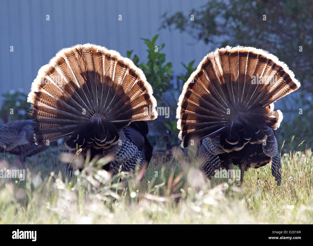 Two Tom Turkeys - Stock Image
