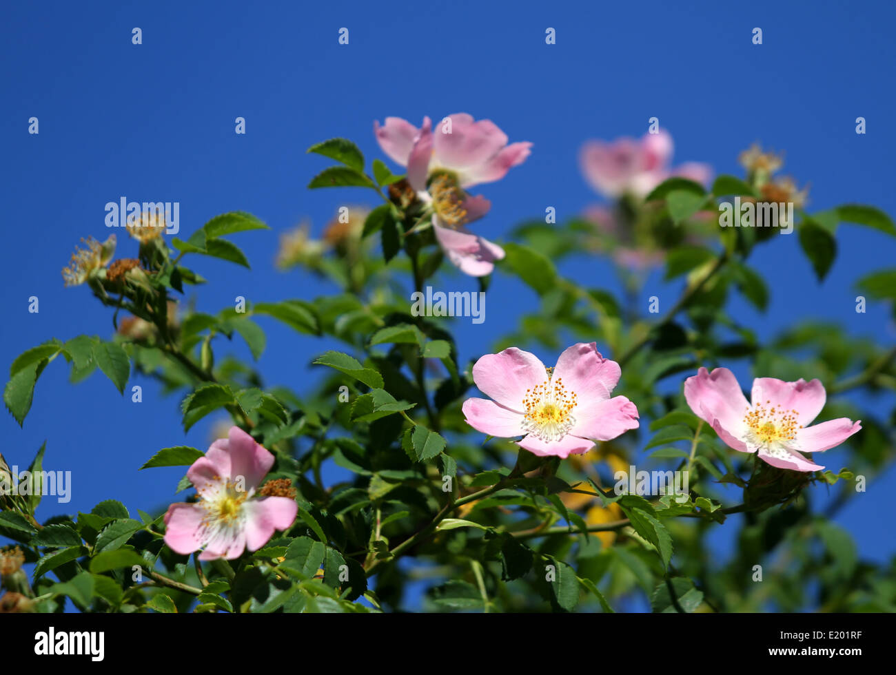 Thorns bush stock photos thorns bush stock images alamy beautiful pink wild roses in a bush of thorns in spring stock image mightylinksfo