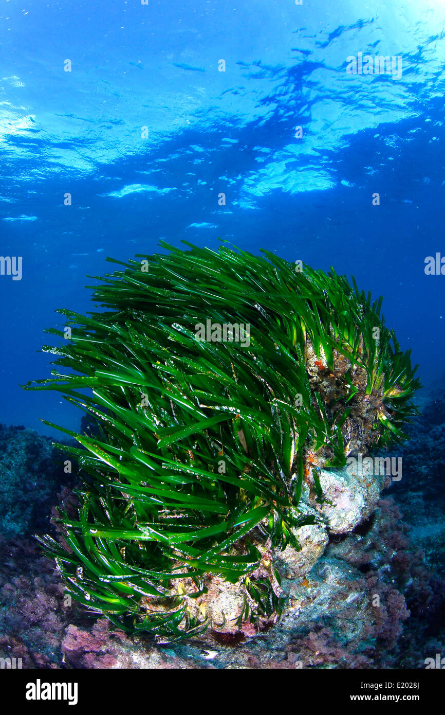 Marine seagrass in the Mediterranean sea of Spain - Stock Image