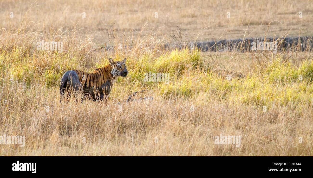 Female tiger stalking and killing a male Sambar deer, Bandhavgarh National Park Madhya Pradesh India Asia - Stock Image