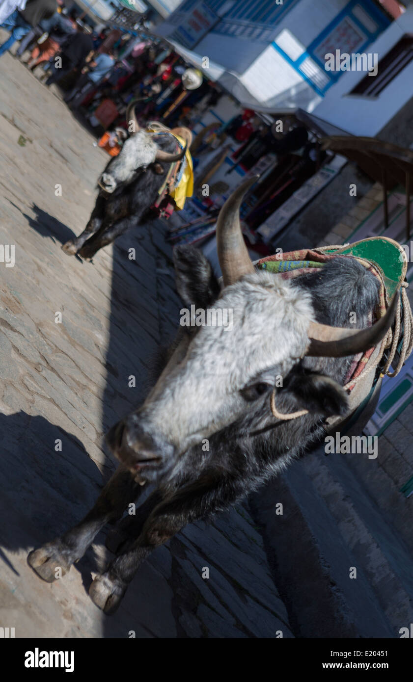 Lukla Nepal Dzo yaks walk through Lukla Solukhumbu mixture of yak and cow - Stock Image