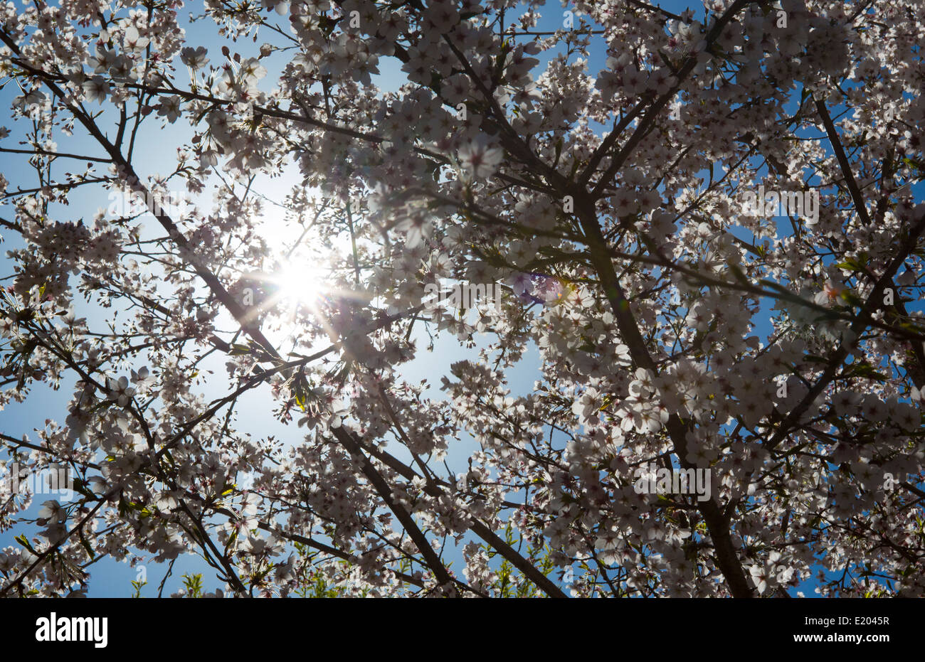 Lukla Nepal The sun shining through the blooming cherry blossoms near remote Mt Everest - Stock Image