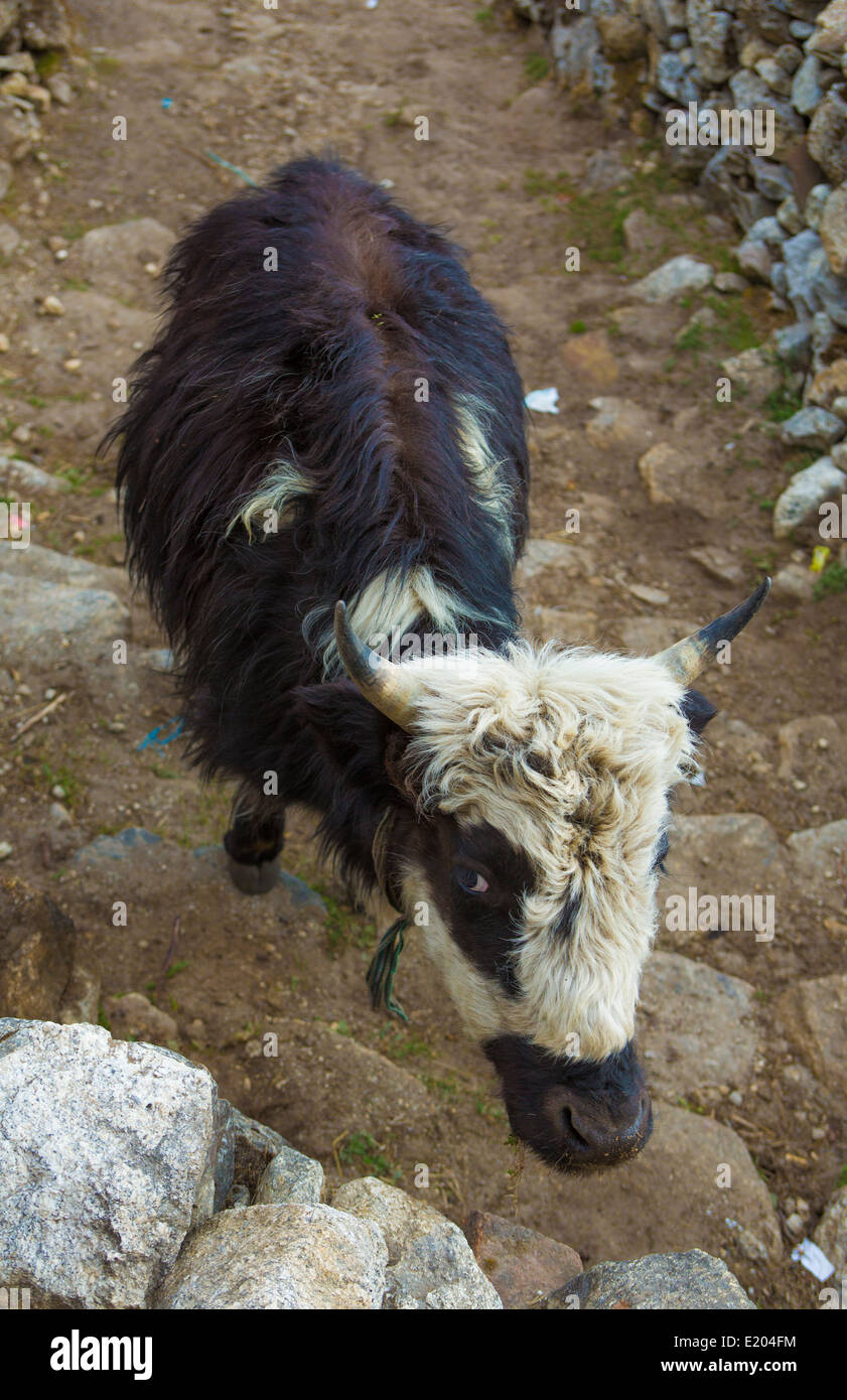 Nepal A baby yak in the village of Khumjung remote, Mt Everest, Himalayas - Stock Image