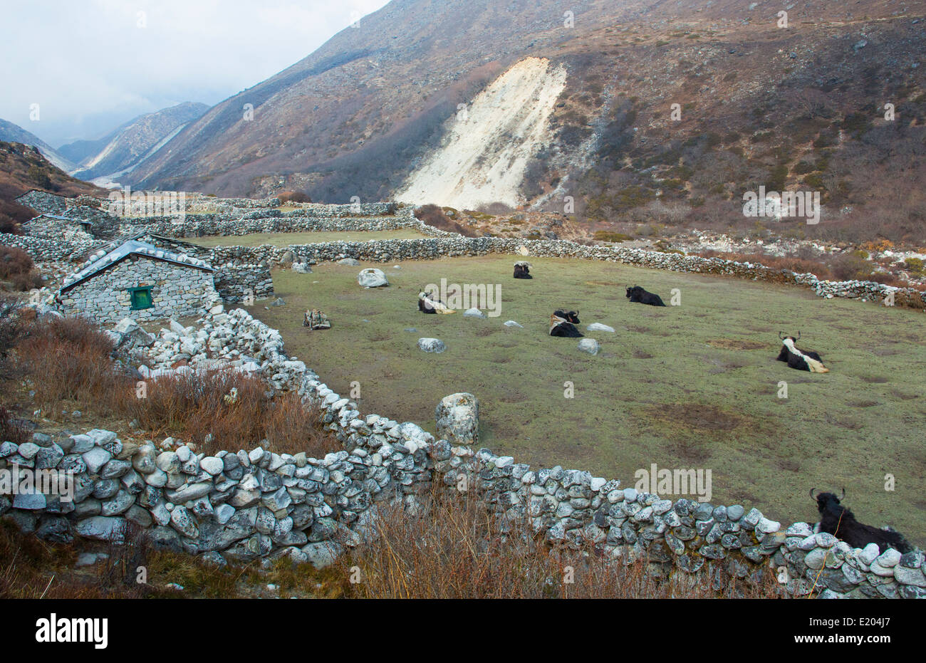 Nepal. Yaks resting in a grass field, near the village of Orsho, Solukhumbu, remote, Mt Everest, Himalayas - Stock Image