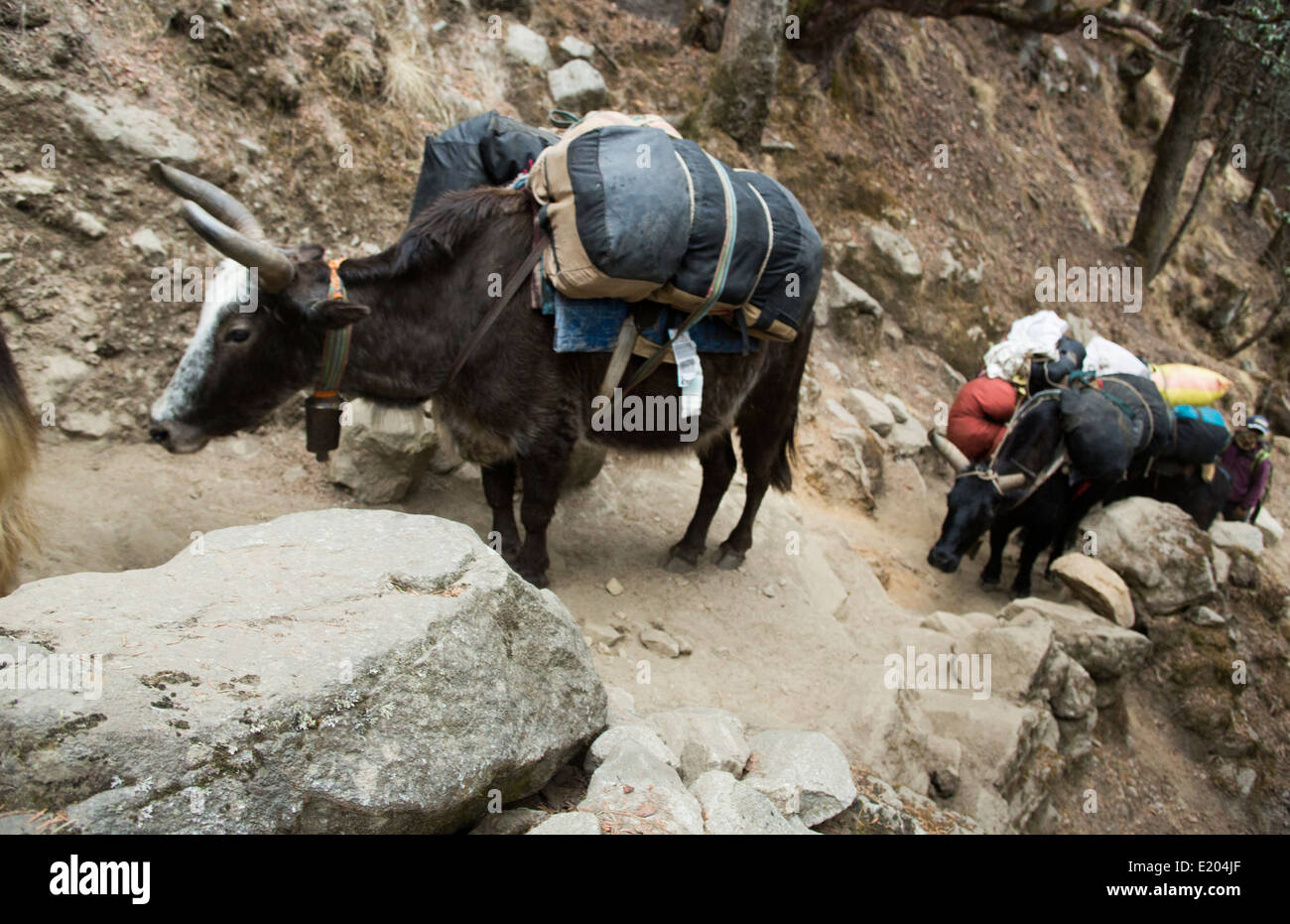 Nepal, a yak carravan carrying a load in Solukhumbu, remote, Mt Everest, Himalayas - Stock Image