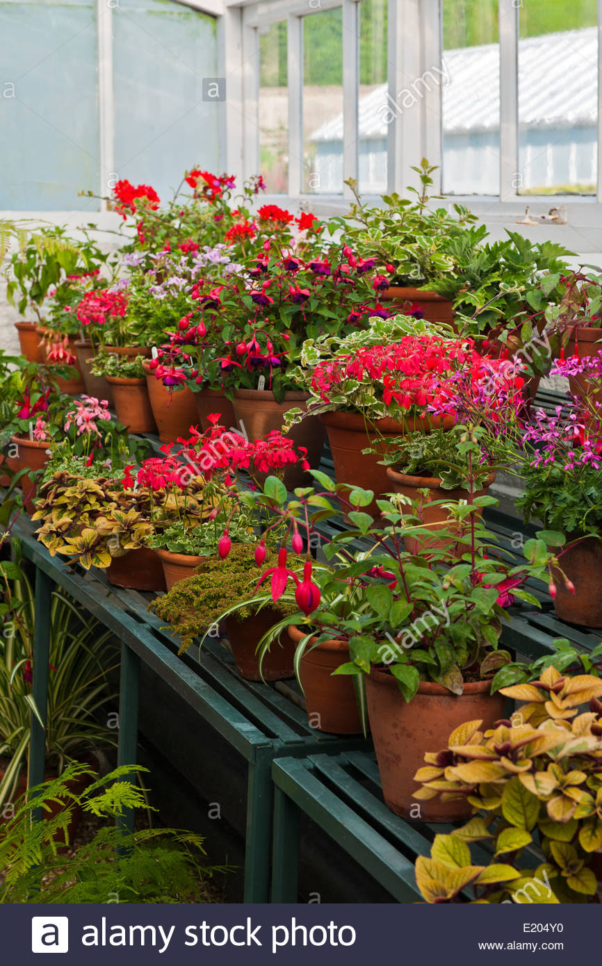 cool greenhouse summer display staging shelves Pelargoniums Fuchsia Fascination shrub tender summer flower container - Stock Image