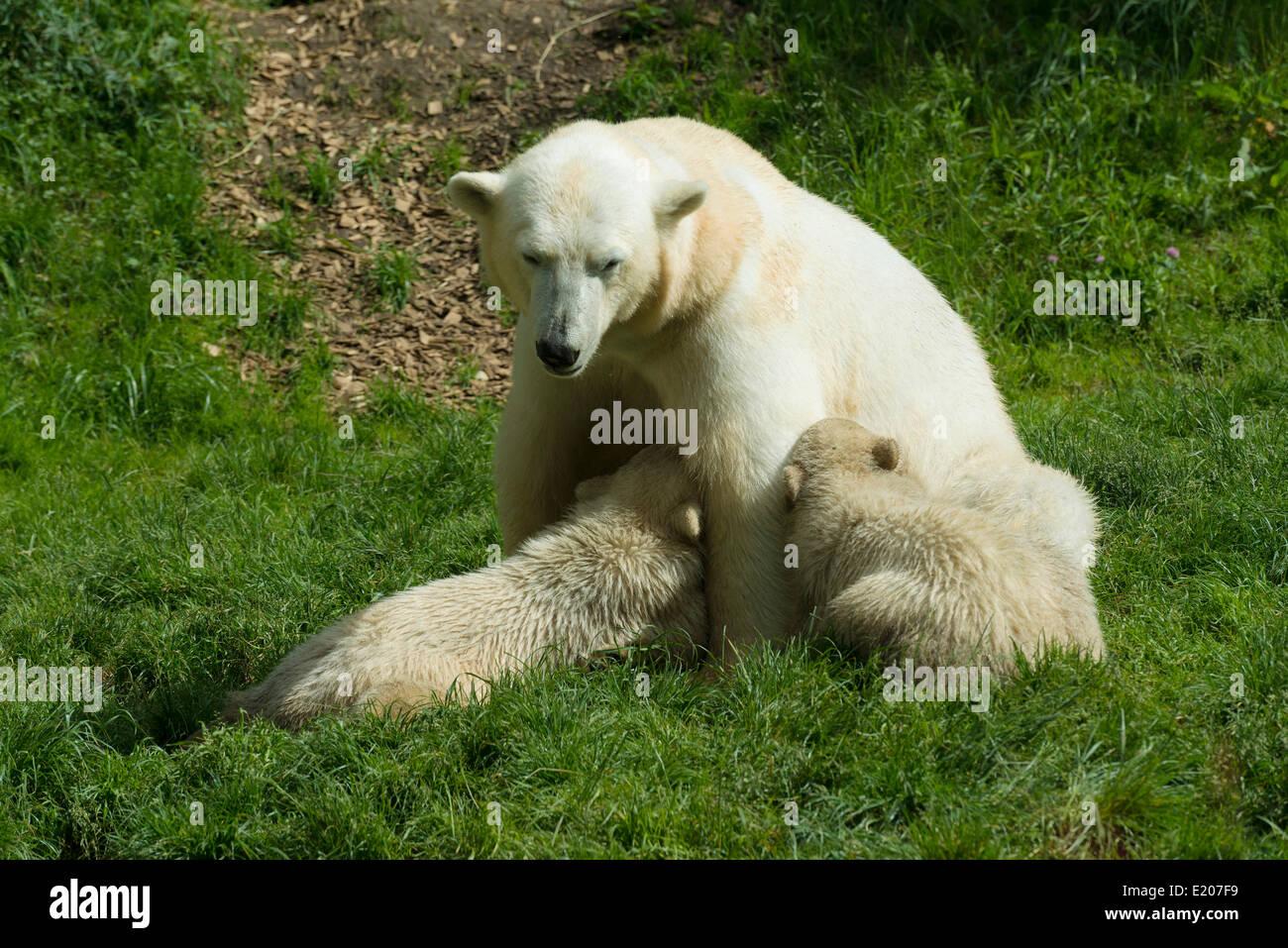 Polar Bears (Ursus maritimus) female Giovanna suckling her cubsNela and Nobby, 6 months, Hellabrunn, Munich, Upper - Stock Image