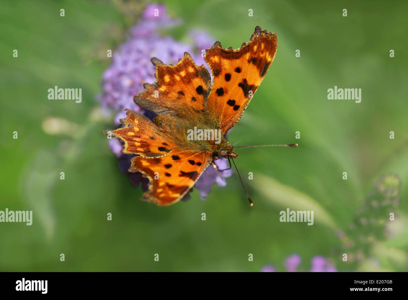 Comma (Polygonia c-album), butterfly, Upper Bavaria, Bavaria, Germany - Stock Image